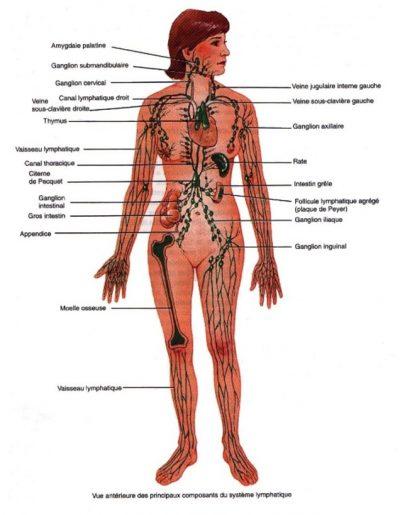 Image Système lymphatique Santé des anciens REINFOSANTE